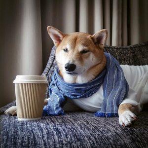 Menswear Dog the Shiba Inu