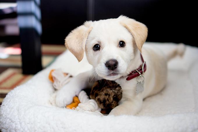 anjing jindo