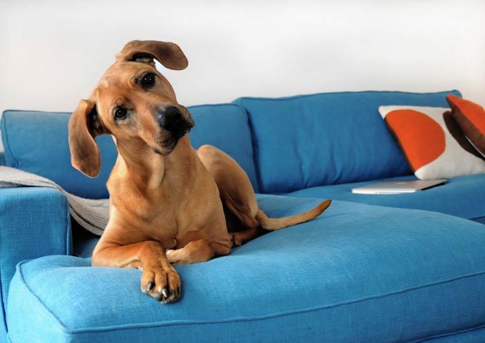 anjing di sofa