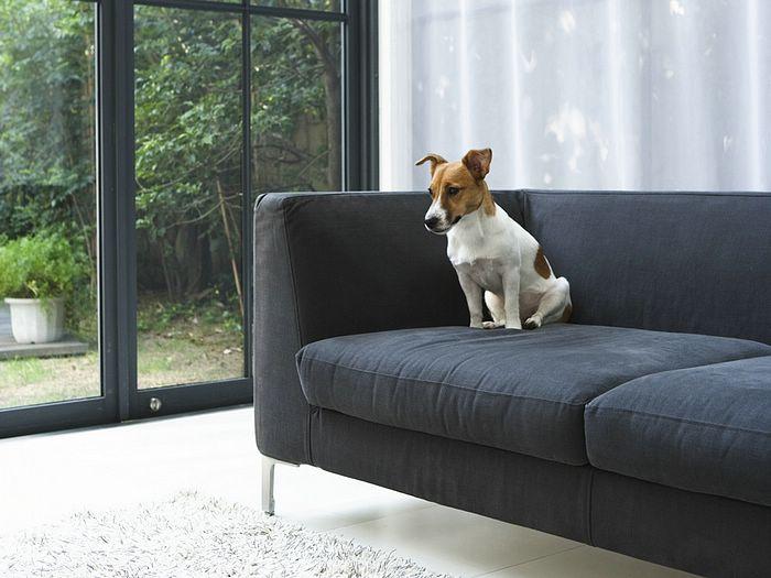anjing sofa